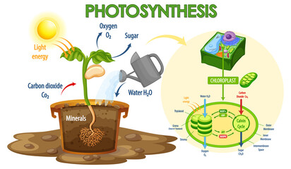 Diagram showing process of photosynthesis in plant