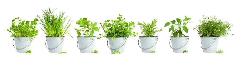 Fototapeta Variety of seven herbs planted in tin buckets arranged in a row isolated on white background obraz