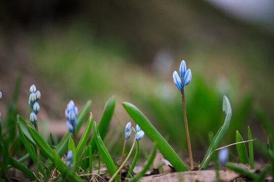 Scilla siberica flower in park at springtime