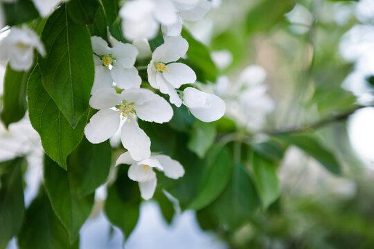 Beautiful apple tree flowering in city park