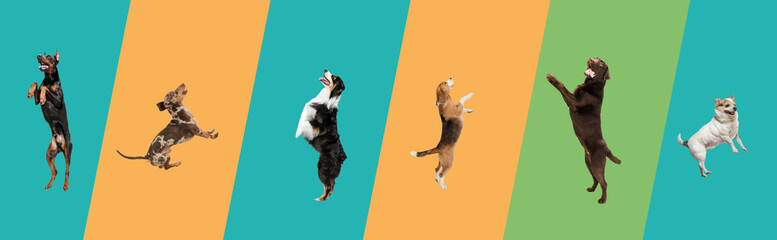 Art collage made of funny flying dogs different breeds jumping high on multicolored studio background. - fototapety na wymiar