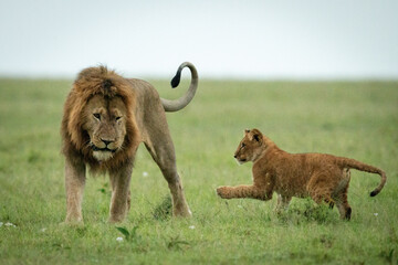 Cub plays with male lion on grass Wall mural