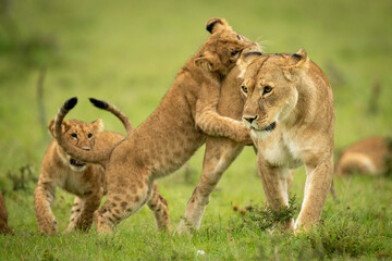Cub leaning on lioness on hind legs Wall mural