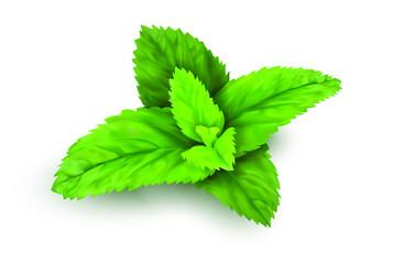 Fototapeta Fresh mint leaves, vector, realistic obraz