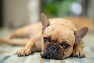 Fototapeta Cute French bulldog with cherry eyes laying indoor. obraz