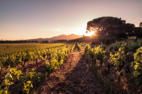 Sunrise over vineyard in Corsica