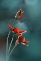Obraz Tulipany botaniczne