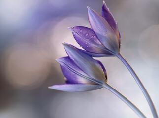 Fototapeta Kwiaty Tulipany botaniczne obraz