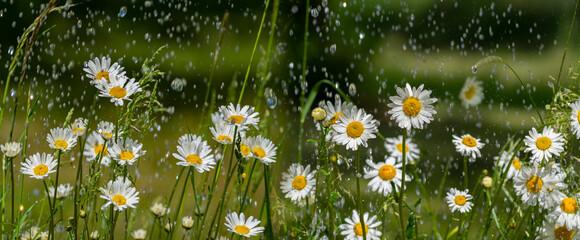 rain and daisy flowers - high speed photo