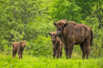 Europese bizon (Wisent) /Bison bonasus/ The Bieszczady Mts., Karpaten, Polen.