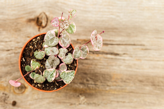 String of hearts young ceropegia plant in a pot