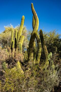 Cactus against blue sky at Boyce Thompson Arboretum