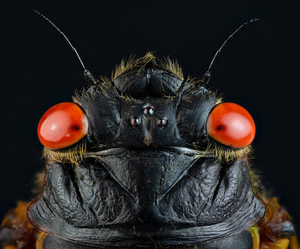 Macro of head of adult periodic (17-year) cicada (Magicicada sp.). This adult emerged in 2021 as part of Brood X (10).