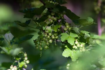 Krzak porzeczek z niedojrzałymi owocami i liśćmi