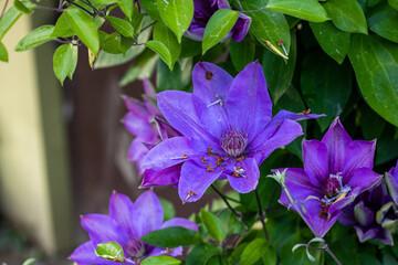 Obraz Piękny kwiat Powojnika - fototapety do salonu