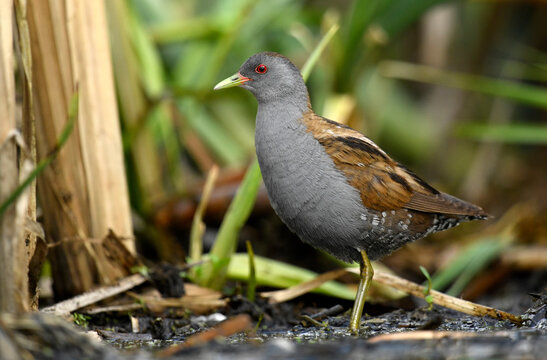 Little crake bird ( Porzana parva )