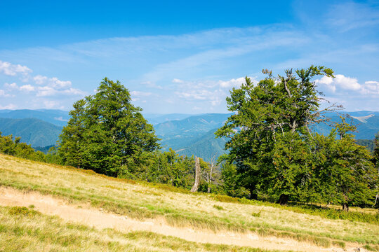 beech trees on the grassy meadow. mountain scenery on a bright afternoon in early autumn. wonderful nature background in sunny weather. travel back country concept