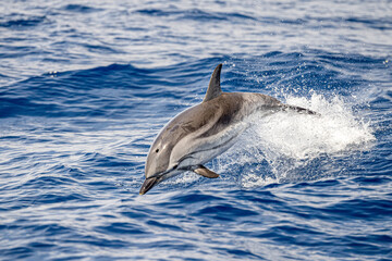 Obraz striped Dolphin while jumping in the deep blue sea - fototapety do salonu