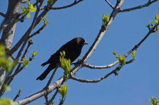 A Brown-Headed Cowbird in a Tree