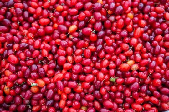 Cornelian cherry dogwood edible fruit. Fresh Dogwood (Cornus sanguinea) berries