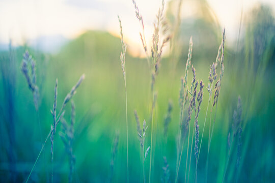 Abstract sunset field landscape of grass meadow on warm golden hour sunset or sunrise time. Tranquil spring summer nature closeup and blurred forest background. Idyllic nature scenery