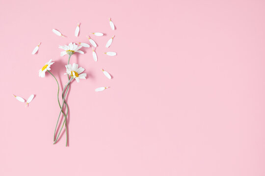 Chamomile flowers on pink background. Flat lay, top view, copy space