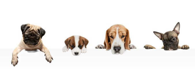 Wall Murals London Collage made of funny dogs different breeds posing isolated over white studio background.