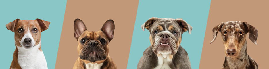 Wall Murals London Art collage made of funny dogs different breeds on multicolored studio background in neon light.