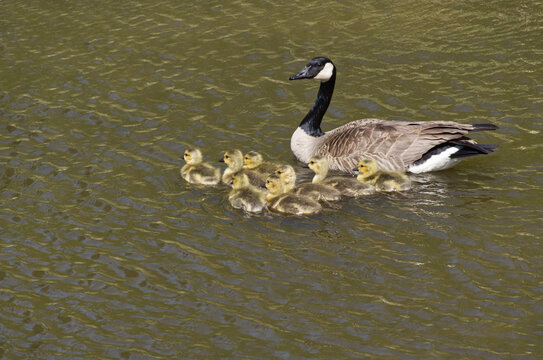 A Canada Goose Family in the Water