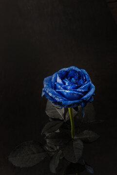 青い薔薇 Blue rose flower photo for background