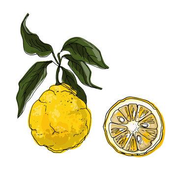 Yuzu Vector drawing of food. Citrus. Exotic food drawings