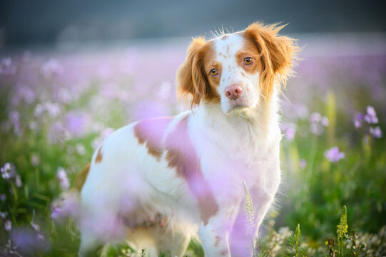 Adorable Epagneul Breton dog sitting in blooming meadow