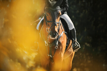 A beautiful bay horse with a rider in the saddle walks on a summer day among the foliage of trees, illuminated by sunlight. Horse riding. Equestrian life.