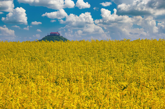 Blooming canola field on foreground and Palanok castle on the hill on background, Mukachevo, Ukraine