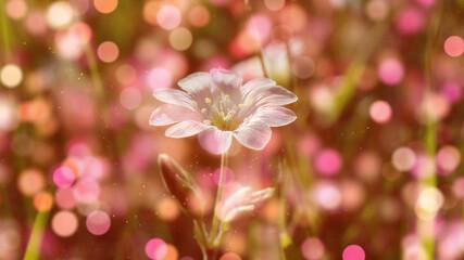 Obraz Biały kwiat rogownicy w zbliżeniu z efektem bokeh - fototapety do salonu