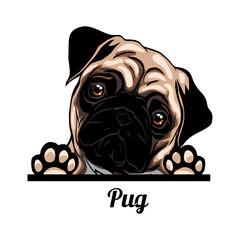 Obraz Pug - Color Peeking Dogs - breed face head isolated on white - fototapety do salonu