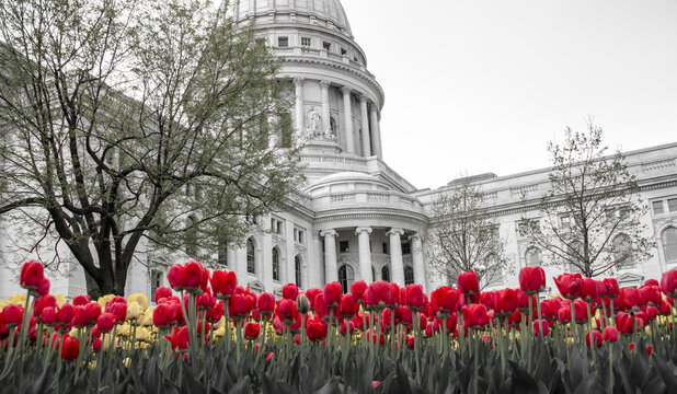 Wisconsin State Capitol with red and yellow tulips growing in its park