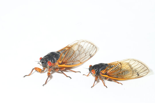 Comparing two Brood X periodical cicadas next to each other. Left is the Pharoah Cicada (Magicicada septendecim), and right is the Dwarf Periodical Cicada (Magicicada cassini).
