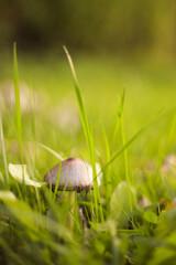 Fototapeta Vertical shot of mushroom on green gra obraz