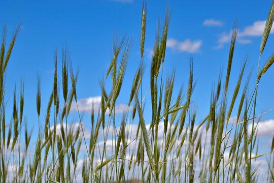 Wheat fields. Cropped wheat fields in the blue sky of Toledo, in Spain