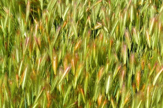 Color in the wheat fields. Vivid colors in the wheat fields of Castilla la Mancha, in the town of Dosbarrios, Spain