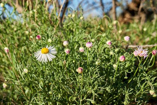 Flowering of daisies or marguerite. Oxeye daisy, Leucanthemum vulgare, Daisies, Dox-eye, Common daisy, Dog daisy, Moon daisy. Wildflower