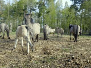Obraz Hodowla półdzikich koni tarpanów. Tarpan (Equus gmelini) – wymarły na wolności gatunek dzikiego konia. Zamieszkiwał obszary leśne Europy - fototapety do salonu