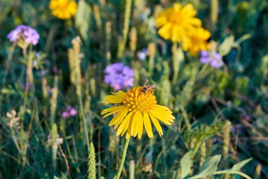 helenium autumn yellow
