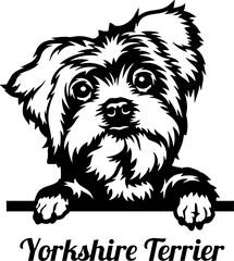 Obraz Yorkshire Terrier Peeking Dog - head isolated on white - fototapety do salonu