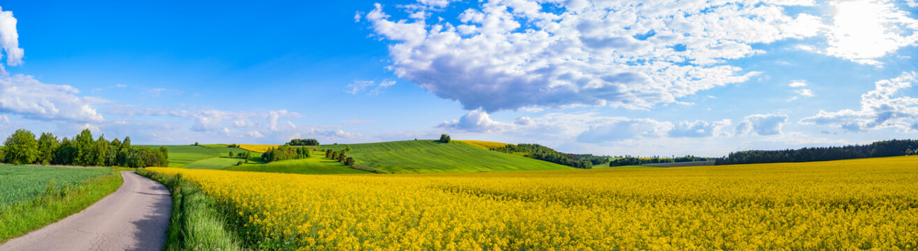 Oilseed rape field with trees against blue sky. Rural, countryside landscape. Panoramic view of colza flowers. Farmland during sunny summer day. Country road through village.