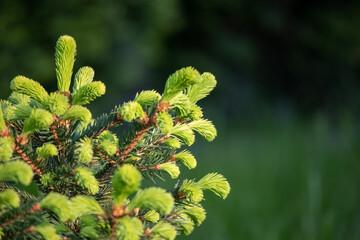 Fototapeta Świerk - młode, jasno zielone pędy obraz