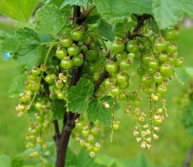 Krzew porzeczki z niedojrzałymi owocami