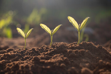 Obraz Seed plants are growing.They are growing step by step.One has root and grow under the soil and the other seed has leaves.They are growing among sunlight.Photo new life and  growing concept. - fototapety do salonu