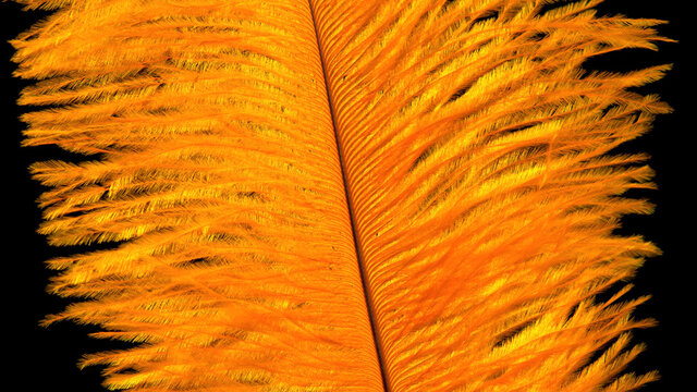 Yellow feather on a black background close-up.